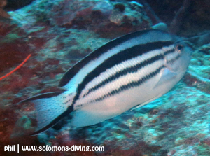 blackstriped angelfish female solomon islands diving guadalcanal fish guide