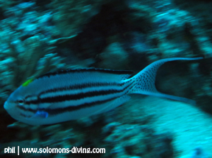 blackstriped angelfish male solomon islands diving guadalcanal fish guide